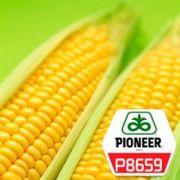 Насіння кукурудзи Pioneer P8659 - 1 п.о.
