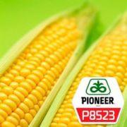 Насіння кукурудзи DuPont Pioneer Р8523 - 1 п.о.